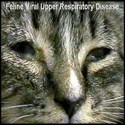 Feline Distemper Vaccine Meadows Veterinary Clinic Of East Peoria